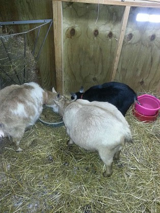 goats getting fatter